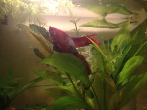 Weird spots, swim bladder bulges, and an inability to hold his tail up - luckily there is plenty of greenery for him to drape himself on.