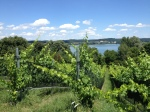 Vineyards on Rheinenau Island