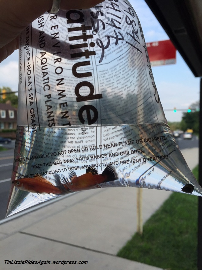 Fish on a bus! Three new Platys and a horned snail made it home on the bus
