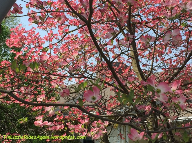2015_Dogwood blossoms