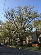 2015_neighborhood fave tree