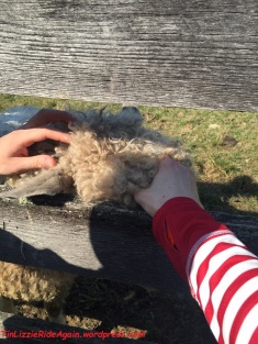 petting-a-friendly-sheep